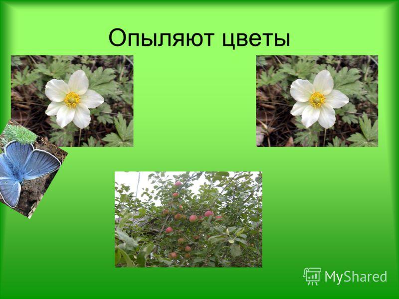 Опыляют цветы