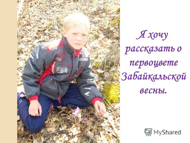 Я хочу рассказать о первоцвете Забайкальской весны.