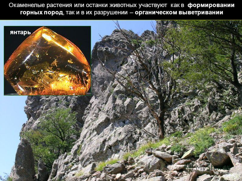 Окаменелые растения или останки животных участвуют как в формировании горных пород, так и в их разрушении – органическом выветривании янтарь