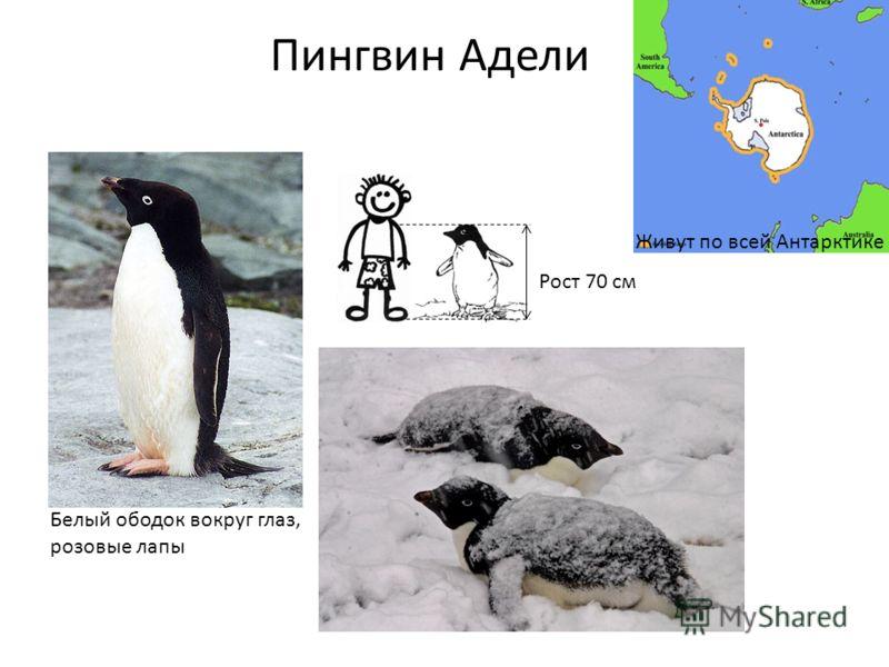 Рост 70 см Пингвин Адели Белый ободок вокруг глаз, розовые лапы Живут по всей Антарктике