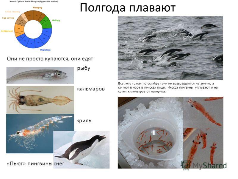 Все лето (с мая по октябрь) они не возвращаются на землю, а кочуют в море в поисках пищи. Иногда пингвины уплывают и на сотни километров от материка. рыбу кальмаров криль Они не просто купаются, они едят Полгода плавают «Пьют» пингвины снег