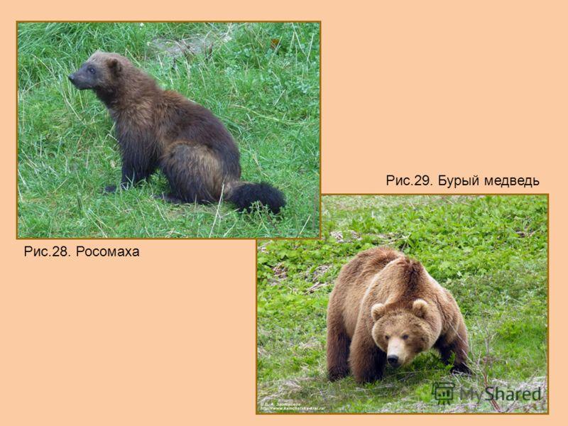 Рис.28. Росомаха Рис.29. Бурый медведь