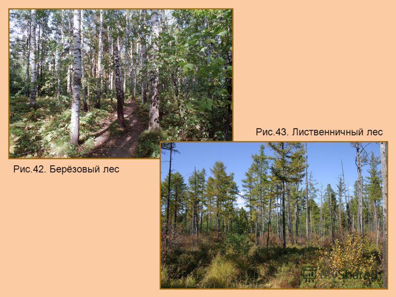 Рис.42. Берёзовый лес Рис.43. Лиственничный лес