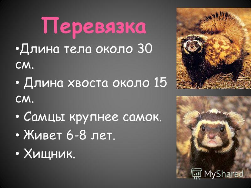 Перевязка Длина тела около 30 см. Длина хвоста около 15 см. Самцы крупнее самок. Живет 6-8 лет. Хищник.