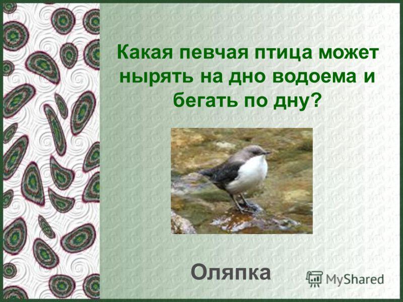 Какая певчая птица может нырять на дно водоема и бегать по дну? Оляпка