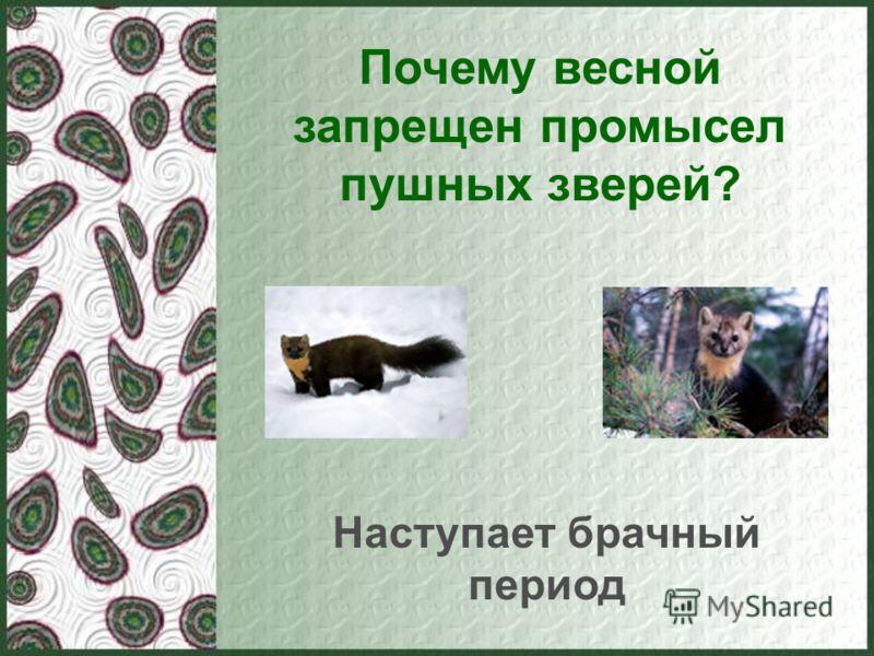 Почему весной запрещен промысел пушных зверей? Наступает брачный период