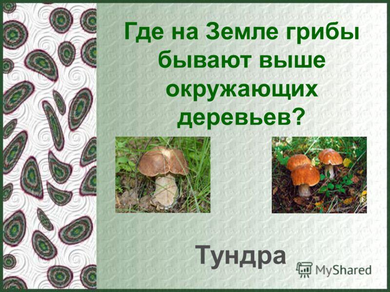 Где на Земле грибы бывают выше окружающих деревьев? Тундра