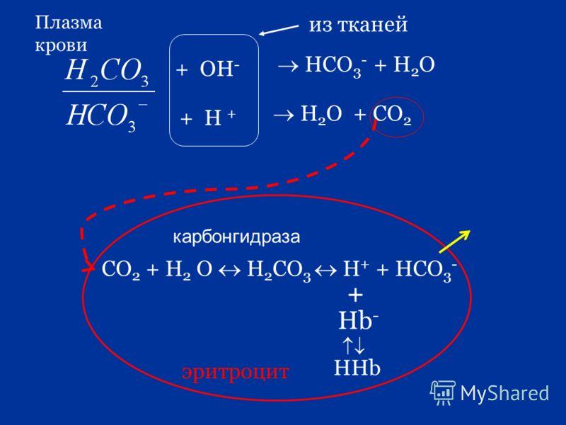 из тканей + OH - + H + HCO 3 - + H 2 O H 2 O + CO 2 Плазма крови эритроцит СО 2 + Н 2 О Н 2 СО 3 Н + + НСО 3 - + Hb - HHb карбонгидраза