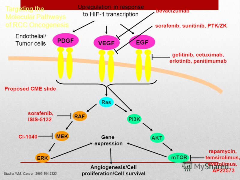 Targeting the Molecular Pathways of RCC Oncogenesis Proposed CME slide Stadler WM. Cancer. 2005;104:2323. PDGFVEGFEGF Ras Angiogenesis/Cell proliferation/Cell survival RAF PI3K bevacizumab gefitinib, cetuximab, erlotinib, panitimumab AKT MEKERK mTOR