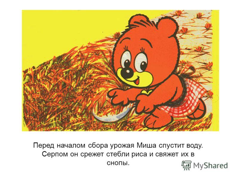 Перед началом сбора урожая Миша спустит воду. Серпом он срежет стебли риса и свяжет их в снопы.