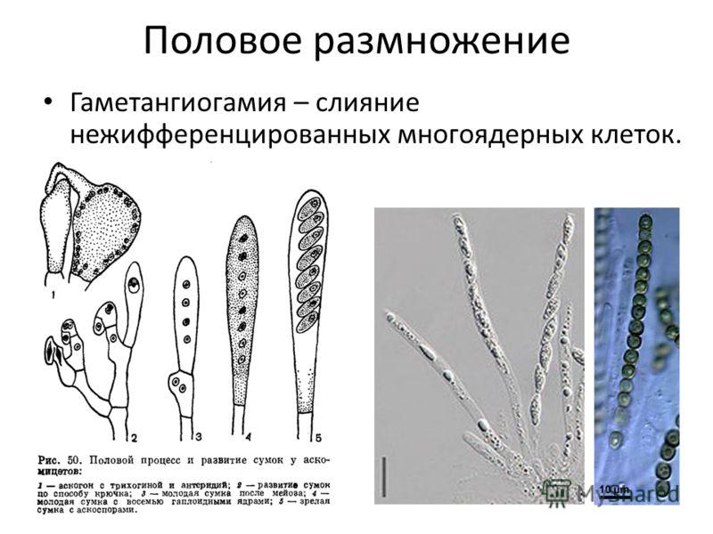 Половое размножение Гаметангиогамия – слияние нежифференцированных многоядерных клеток.