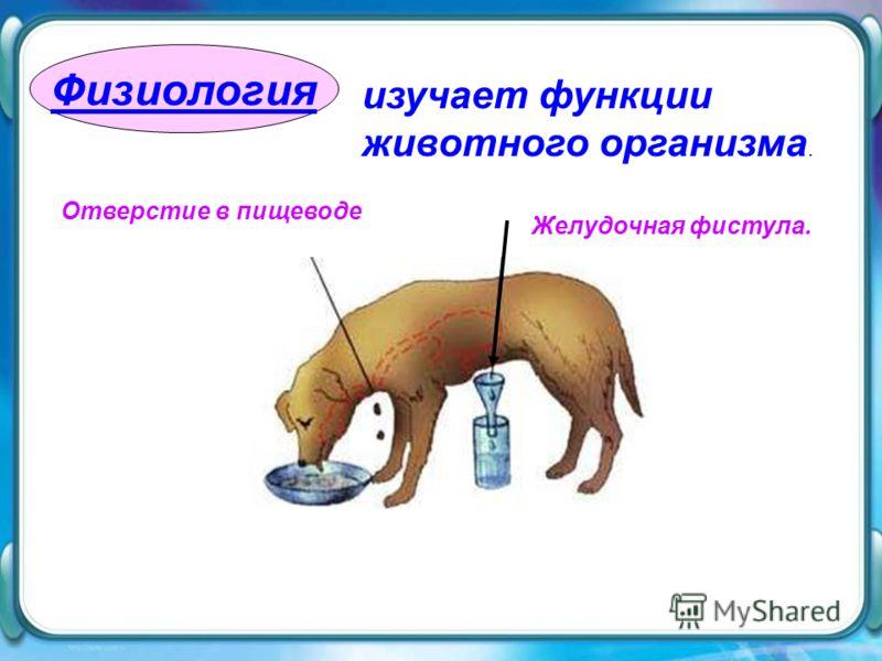 Физиология изучает функции животного организма. Отверстие в пищеводе Желудочная фистула.