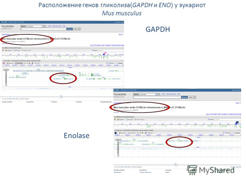 Расположение генов гликолиза(GAPDH и ENO) у эукариот Mus musculus GAPDH Enolase
