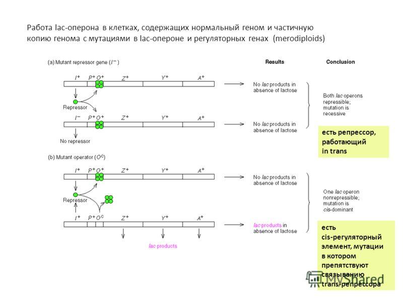 Работа lac-оперона в клетках, содержащих нормальный геном и частичную копию генома с мутациями в lac-опероне и регуляторных генах (merodiploids) есть репрессор, работающий in trans есть cis-регуляторный элемент, мутации в котором препятствуют связыва