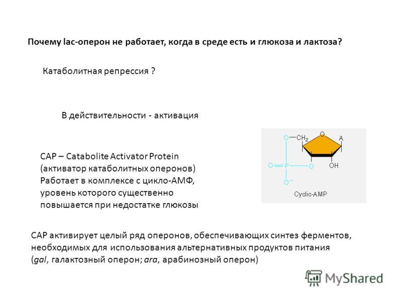 Почему lac-оперон не работает, когда в среде есть и глюкоза и лактоза? Катаболитная репрессия ? В действительности - активация CAP – Catabolite Activator Protein (активатор катаболитных оперонов) Работает в комплексе с цикло-АМФ, уровень которого сущ