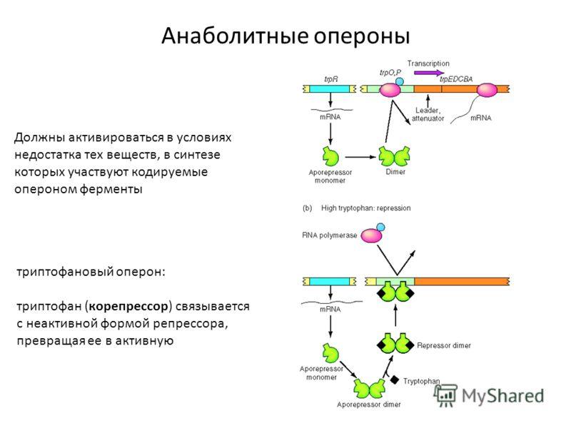 Анаболитные опероны Должны активироваться в условиях недостатка тех веществ, в синтезе которых участвуют кодируемые опероном ферменты триптофановый оперон: триптофан (корепрессор) связывается с неактивной формой репрессора, превращая ее в активную
