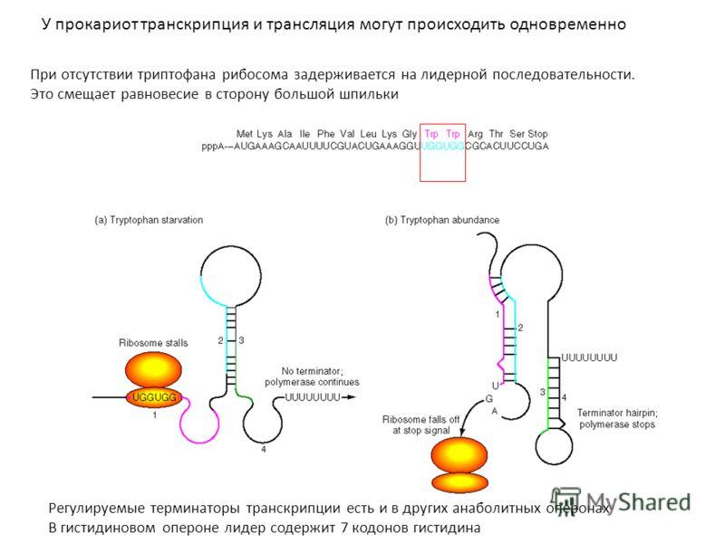При отсутствии триптофана рибосома задерживается на лидерной последовательности. Это смещает равновесие в сторону большой шпильки У прокариот транскрипция и трансляция могут происходить одновременно Регулируемые терминаторы транскрипции есть и в друг
