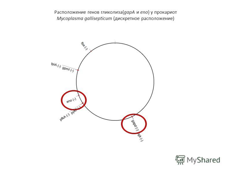 Расположение генов гликолиза(gapA и eno) у прокариот Mycoplasma gallisepticum (дискретное расположение)