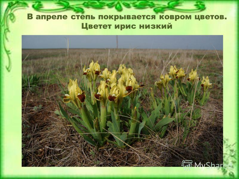 В апреле степь покрывается ковром цветов. Цветет ирис низкий