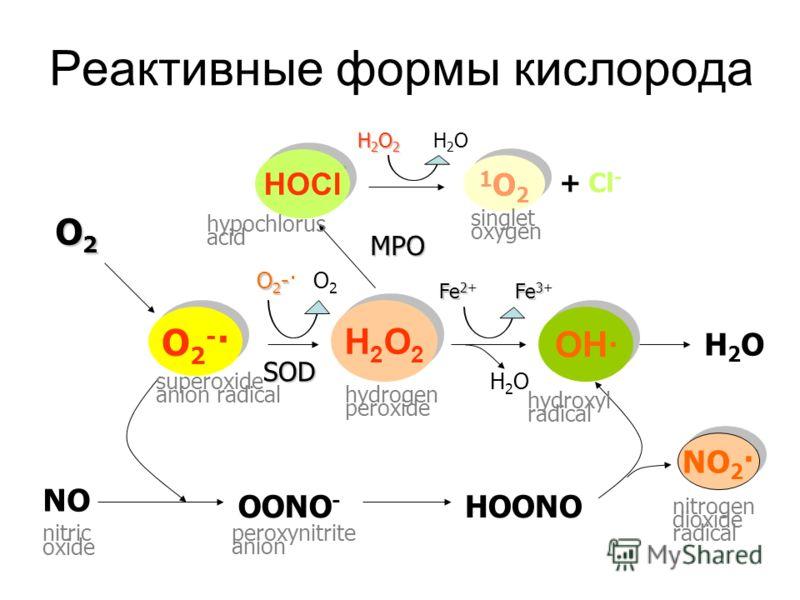 Реактивные формы кислорода HOCl 1O21O2 1O21O2 OH· H2O2H2O2 H2O2H2O2 O2-·O2-· O2-·O2-· NO 2 · SOD O2-O2-·O2-O2-· O2O2O2O2 O2O2 H2O2H2O2H2O2H2O2 H2OH2O H2OH2O Fe 2 Fe 2+ Fe 3 Fe 3+ NO MPO OONO - HOONO H2OH2O + Cl - nitrogen dioxide radical peroxynitrit