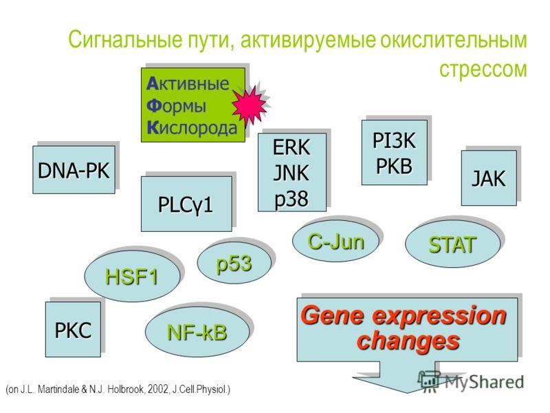 Сигнальные пути, активируемые окислительным стрессом HSF1HSF1 C-JunC-Jun NF-kBNF-kB STATSTAT PLCγ1 PKCPKC PI3KPKBPI3KPKB JAKJAK ERKJNKp38ERKJNKp38 Gene expression changes changes p53p53 Активные Формы Кислорода Активные Формы Кислорода (on J.L. Marti
