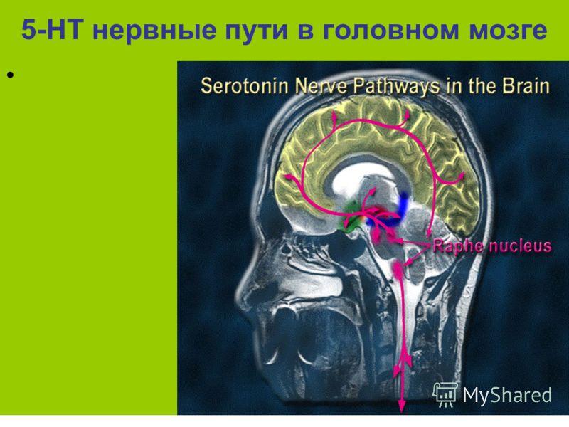 5-НТ нервные пути в головном мозге