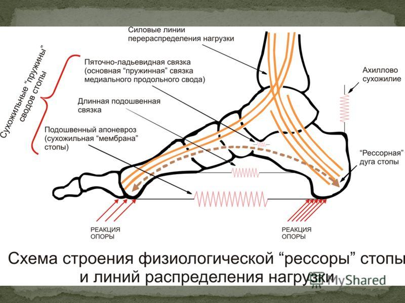 В продольном своде различают наружный и внутренний свод: Внутренний свод - образуют таранная, ладьевидная, клиновидные и 1,2 плюсневые кости. Центр внутреннего свода стопы находится в области таранно-ладьевидного сустава. Наружный свод стопы образова