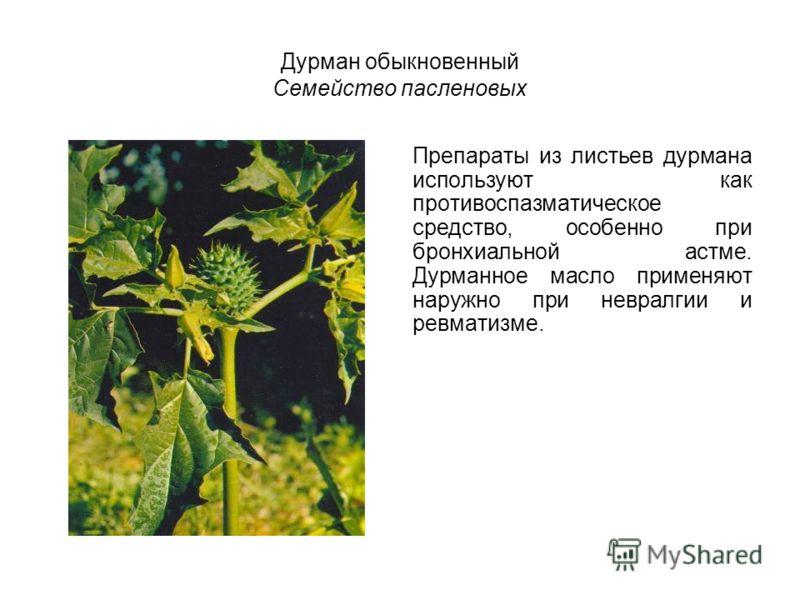 Дурман обыкновенный Семейство пасленовых Препараты из листьев дурмана используют как противоспазматическое средство, особенно при бронхиальной астме. Дурманное масло применяют наружно при невралгии и ревматизме.