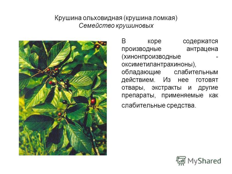 Крушина ольховидная (крушина ломкая) Семейство крушиновых В коре содержатся производные антрацена (хинонпроизводные - оксиметилантрахиноны), обладающие слабительным действием. Из нее готовят отвары, экстракты и другие препараты, применяемые как слаби