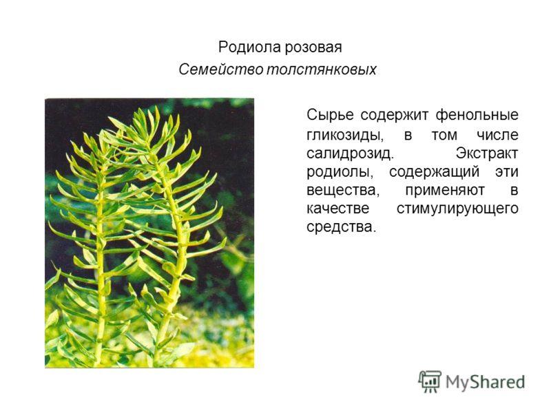 Родиола розовая Семейство толстянковых Сырье содержит фенольные гликозиды, в том числе салидрозид. Экстракт родиолы, содержащий эти вещества, применяют в качестве стимулирующего средства.