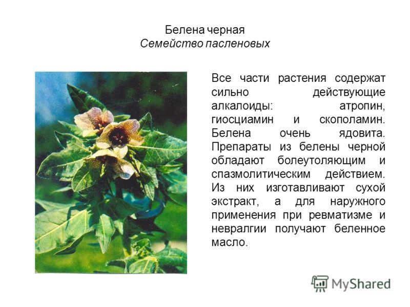 Белена черная Семейство пасленовых Все части растения содержат сильно действующие алкалоиды: атропин, гиосциамин и скополамин. Белена очень ядовита. Препараты из белены черной обладают болеутоляющим и спазмолитическим действием. Из них изготавливают