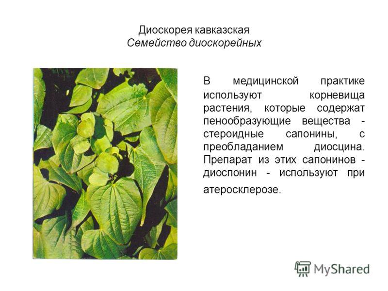 Диоскорея кавказская Семейство диоскорейных В медицинской практике используют корневища растения, которые содержат пенообразующие вещества - стероидные сапонины, с преобладанием диосцина. Препарат из этих сапонинов - диоспонин - используют при атерос