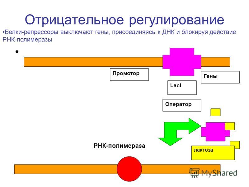 Отрицательное регулирование LacI Промотор Оператор Гены лактоза РНК-полимераза Белки-репрессоры выключают гены, присоединяясь к ДНК и блокируя действие РНК-полимеразы