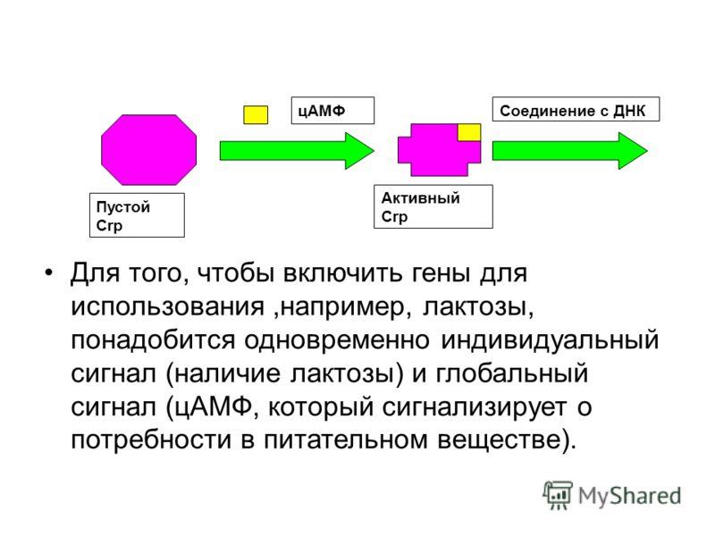 цАМФСоединение с ДНК Пустой Crp Активный Crp Для того, чтобы включить гены для использования,например, лактозы, понадобится одновременно индивидуальный сигнал (наличие лактозы) и глобальный сигнал (цАМФ, который сигнализирует о потребности в питатель