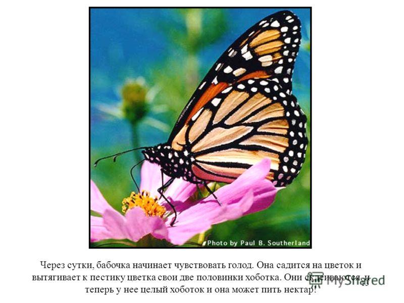 13 Через сутки, бабочка начинает чувствовать голод. Она садится на цветок и вытягивает к пестику цветка свои две половинки хоботка. Они склеиваются, и теперь у нее целый хоботок и она может пить нектар!