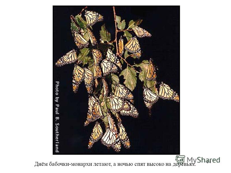 14 Днём бабочки-монархи летают, а ночью спят высоко на деревьях.