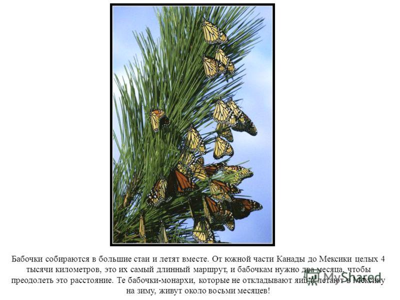 17 Бабочки собираются в большие стаи и летят вместе. От южной части Канады до Мексики целых 4 тысячи километров, это их самый длинный маршрут, и бабочкам нужно два месяца, чтобы преодолеть это расстояние. Те бабочки-монархи, которые не откладывают яи