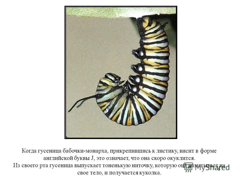 6 Когда гусеница бабочки-монарха, прикрепившись к листику, висит в форме английской буквы J, это означает, что она скоро окуклится. Из своего рта гусеница выпускает тоненькую ниточку, которую она наматывает на свое тело, и получается куколка.