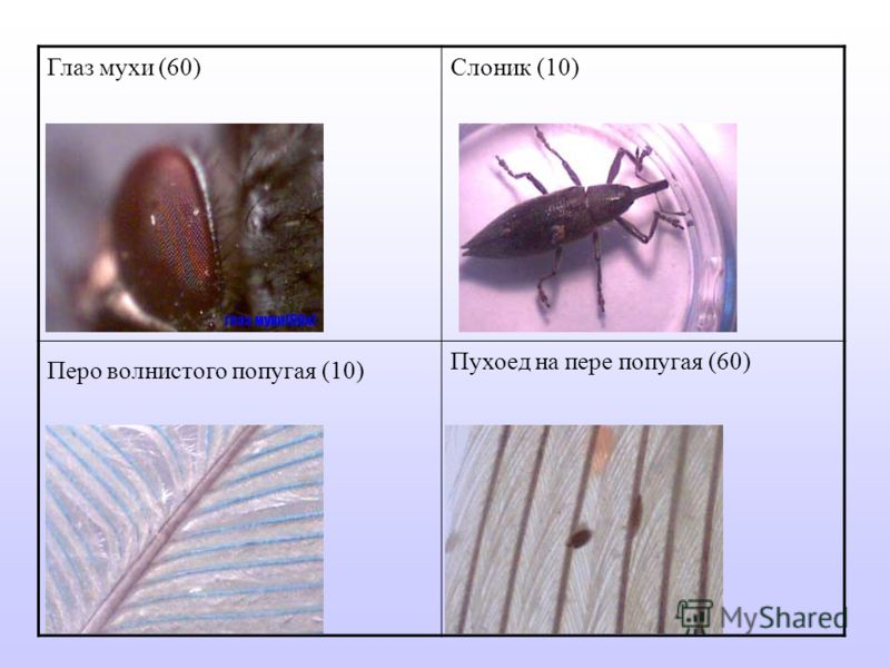 Глаз мухи (60)Слоник (10) Перо волнистого попугая (10) Пухоед на пере попугая (60)