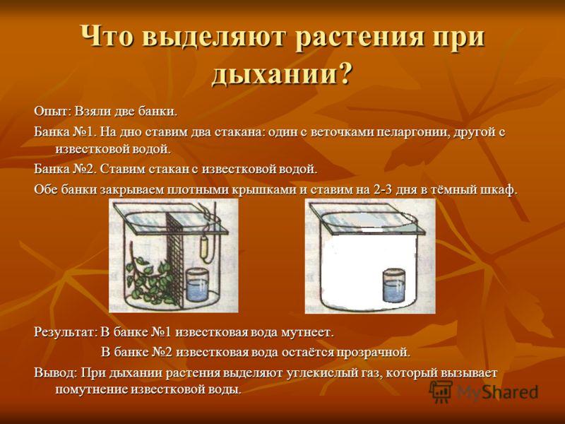 Что выделяют растения при дыхании? Опыт: Взяли две банки. Банка 1. На дно ставим два стакана: один с веточками пеларгонии, другой с известковой водой. Банка 2. Ставим стакан с известковой водой. Обе банки закрываем плотными крышками и ставим на 2-3 д