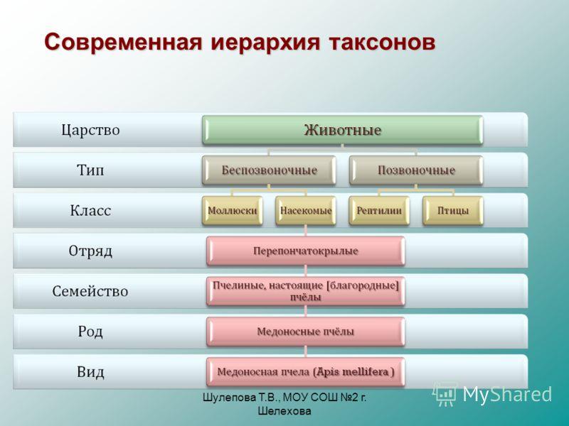 Шулепова Т.В., МОУ СОШ 2 г. Шелехова Cовременная иерархия таксонов