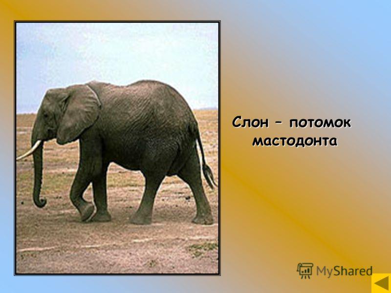 Слон – потомок мастодонта