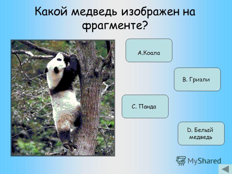Какой медведь изображен на фрагменте? А.Коала В. Гризли С. Панда D. Белый медведь