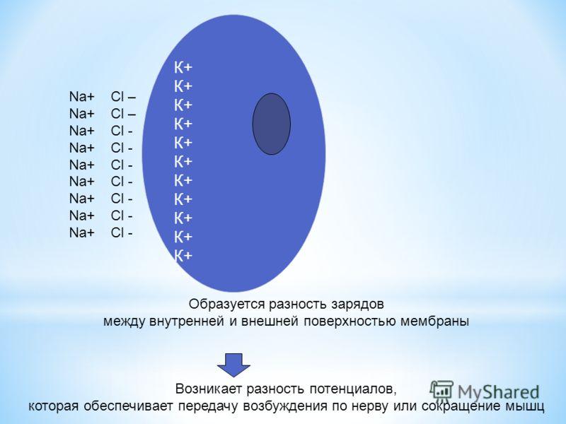 К+ К+ К+ К+ К+ К+ Na+ Cl – Na+ Cl - Образуется разность зарядов между внутренней и внешней поверхностью мембраны Возникает разность потенциалов, которая обеспечивает передачу возбуждения по нерву или сокращение мышц