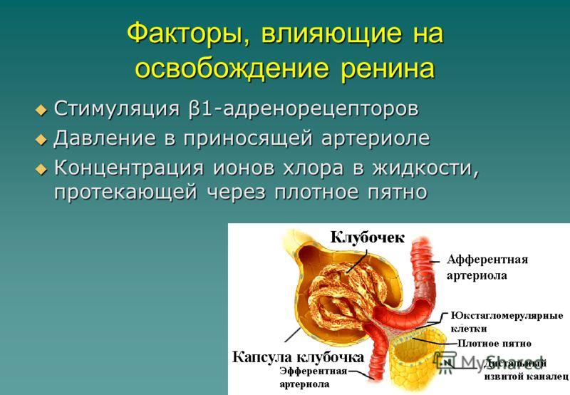 34 Факторы, влияющие на освобождение ренина Стимуляция β1-адренорецепторов Стимуляция β1-адренорецепторов Давление в приносящей артериоле Давление в приносящей артериоле Концентрация ионов хлора в жидкости, протекающей через плотное пятно Концентраци
