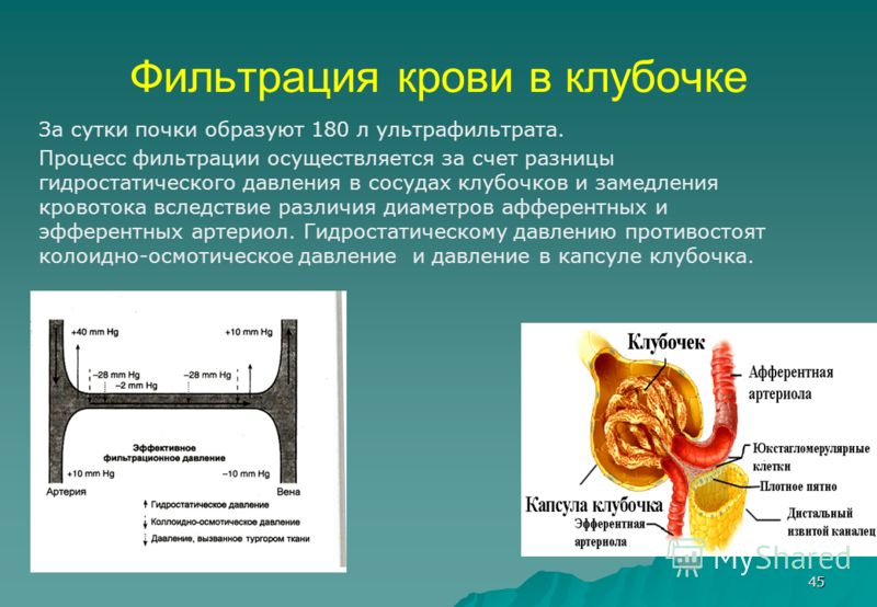 45 Фильтрация крови в клубочке За сутки почки образуют 180 л ультрафильтрата. Процесс фильтрации осуществляется за счет разницы гидростатического давления в сосудах клубочков и замедления кровотока вследствие различия диаметров афферентных и эфферент