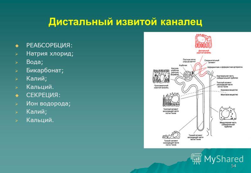 54 Дистальный извитой каналец РЕАБСОРБЦИЯ: Натрия хлорид; Вода; Бикарбонат; Калий; Кальций. СЕКРЕЦИЯ: Ион водорода; Калий; Кальций.