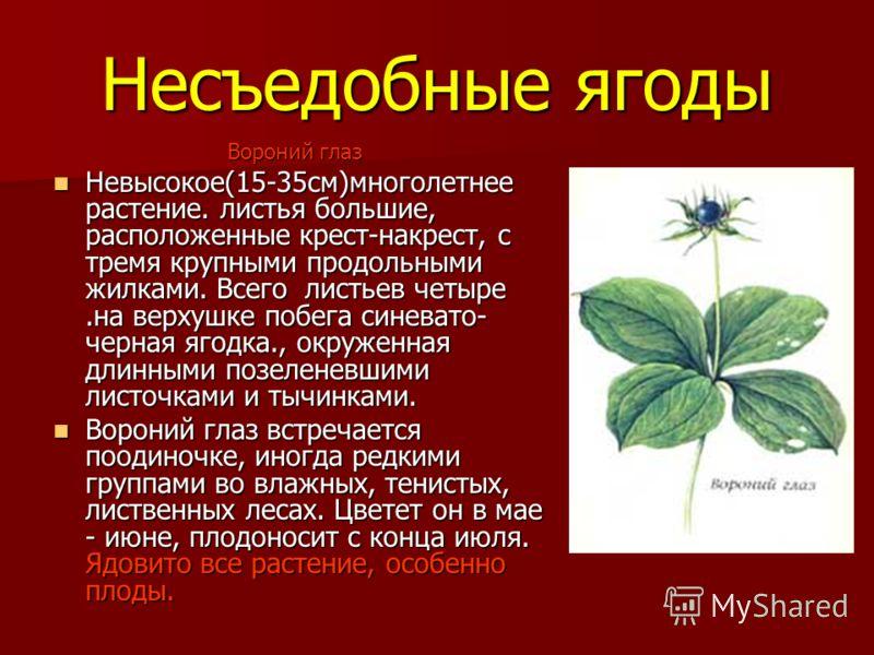 Несъедобные ягоды Вороний глаз Вороний глаз Невысокое(15-35см)многолетнее растение. листья большие, расположенные крест-накрест, с тремя крупными продольными жилками. Всего листьев четыре.на верхушке побега синевато- черная ягодка., окруженная длинны