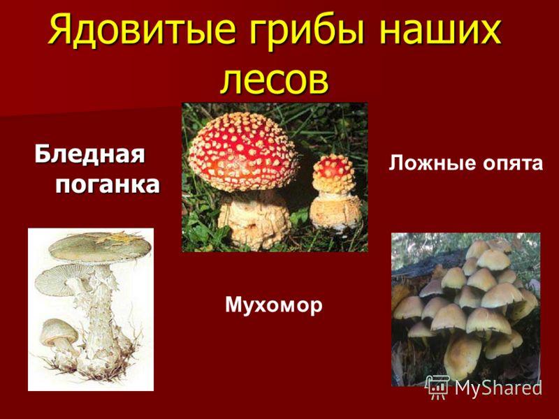 Ядовитые грибы наших лесов Бледная поганка Мухомор Ложные опята