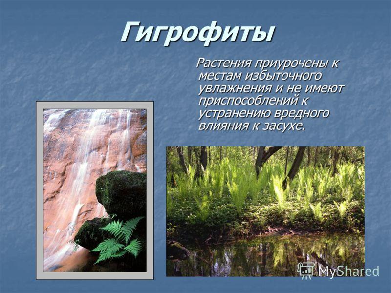 Гигрофиты Растения приурочены к местам избыточного увлажнения и не имеют приспособлений к устранению вредного влияния к засухе. Растения приурочены к местам избыточного увлажнения и не имеют приспособлений к устранению вредного влияния к засухе.